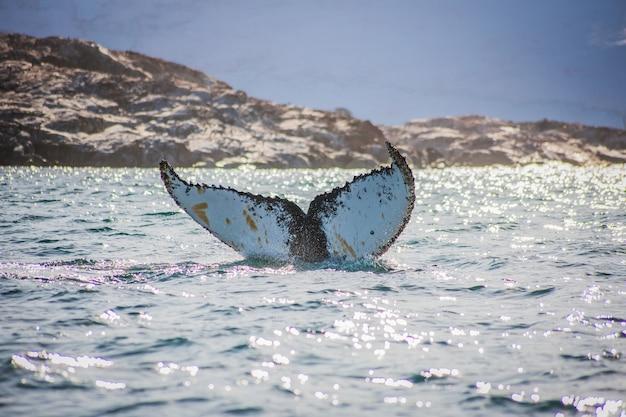 Китовый хвост на острове петерманн, антарктида