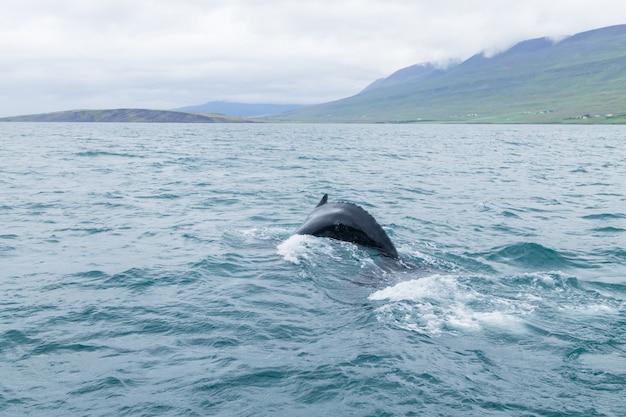 Наблюдение за китами из акюрейри, исландия. кит в воде. дикая природа