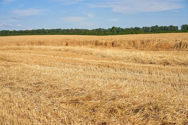 Сельскохозяйственное поле пшеницы с синим облачным фоном сбор урожая в летний сезон