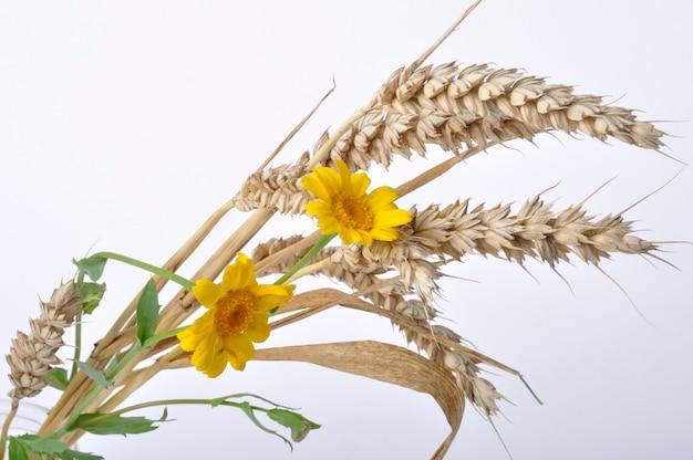 Пшеница и золотые ромашки на белом фоне