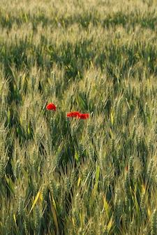 Пшеница и маки