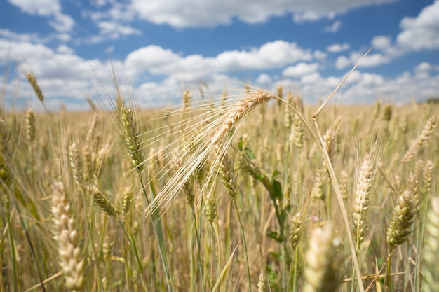 Wheat and barley being cultivated in an agricultural field with a close up view of ripening ears of cereal for use as a foodstuff or silage