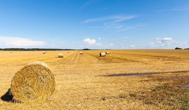 Пшеничная щетина на поле с тюками сухой, золотой пшеничной соломы, летний пейзаж, солнечная ясная погода