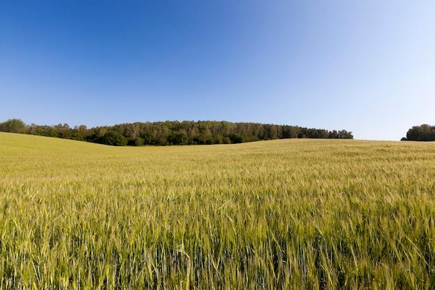 小麦シリアル
