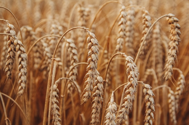 밀 근접 촬영입니다. 밀밭. 밀의 귀를 숙성의 배경입니다. 수확 및 음식 개념입니다.