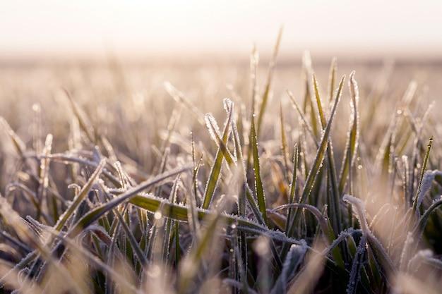 Пшеница покрытая льдом