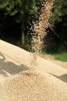 丘に落ちる小麦