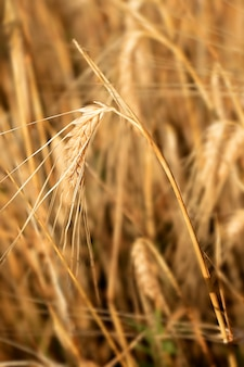 Wheat ear organic product soft selective focus on one ear