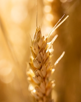 Wheat ear with blurry background