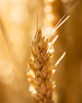 ぼやけた背景と小麦の耳