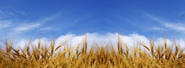 Колосья пшеницы на фоне голубого неба