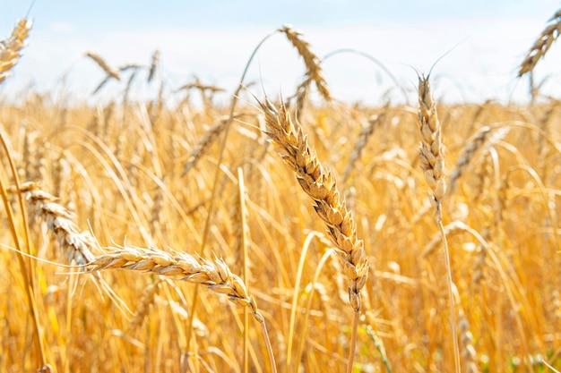Крупный план колосьев пшеницы против голубого неба на поле. сельскохозяйственная промышленность. концепция богатого урожая.