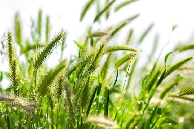 밀 귀는 햇볕에 닫습니다. 들판과 아침 햇살에 미숙 한 밀. 따뜻한 햇빛에 밀. 밀에 태양이 빛납니다.