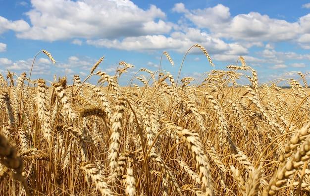 雲と青い空を背景に小麦の耳のクローズアップ