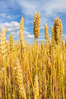 雲と青い空の小麦の耳のクローズアップ