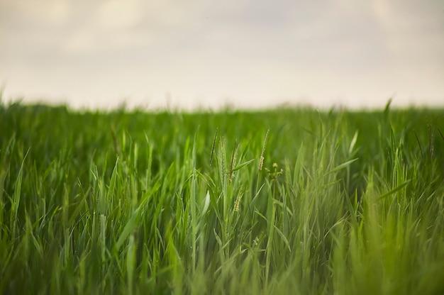 Wheat ears in a field of cultivation in italy.