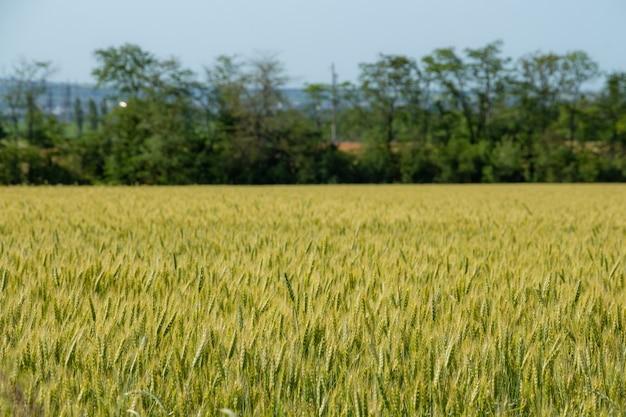 Колосья пшеницы в солнечном закате на поле