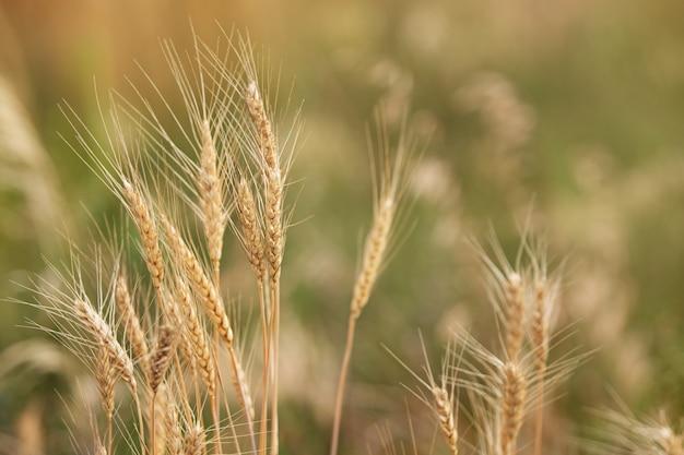 フィールドでの小麦の穂