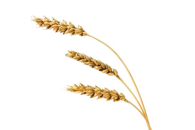 Колосья пшеницы, изолированные на белом фоне