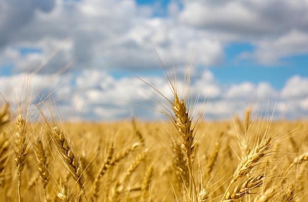 Колосья пшеницы на поле