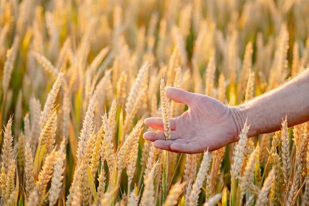 正面図の小麦の穂。小麦の収穫の背景。上の金の野原と青い空。