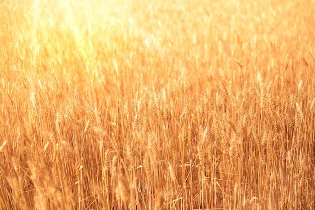Колосья пшеницы на поле летом с солнечными лучами. естественный растительный золотой фон.