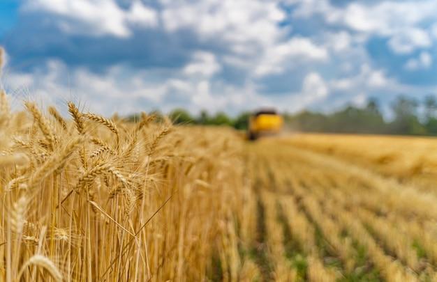 Колосья пшеницы на виде спереди. сухая золотая пшеница. желтый комбинируется на размытом фоне.