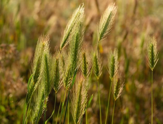 Wheat ears in sunlight sunset on the field