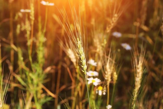 Wheat ears wheaten field organic farm products summer autumn