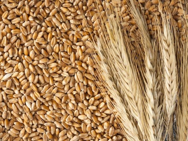 Колосья пшеницы с семенами