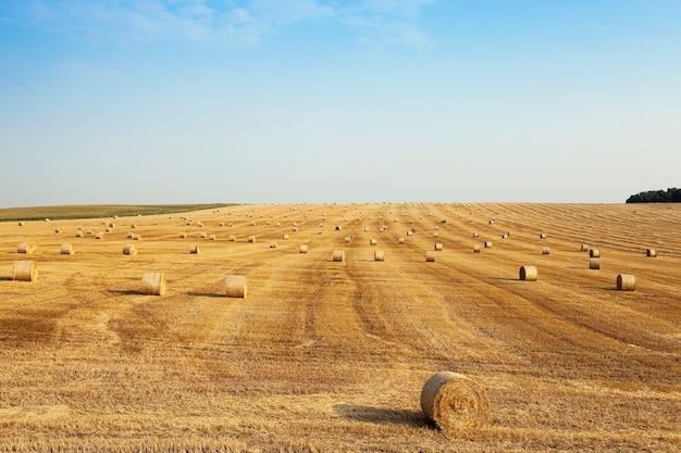 Пшеничное поле после сбора урожая. сельскохозяйственное поле, на котором земля осталась на пшеничной соломе после сбора урожая.