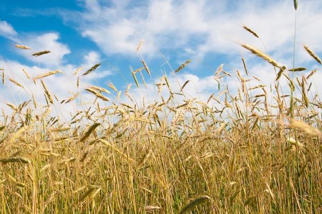 Поле пшеницы против голубого неба с облаками