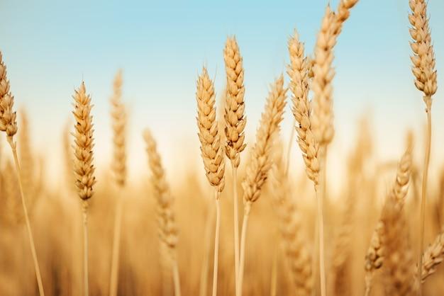 Пшеничное поле против голубого неба во время сбора урожая в конце лета, золотисто-желтые колосья пшеницы на полях сельскохозяйственных культур летом сельскохозяйственный фон