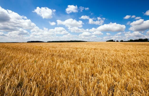 小麦畑-小麦が育つ農地