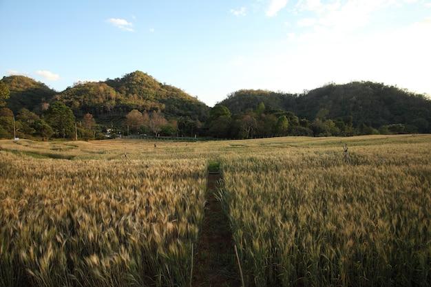 Поле пшеницы и голубое небо.