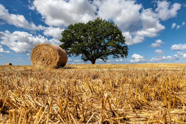 Пшеничное поле и дуб на сельскохозяйственном поле, один зеленый дуб и солома после сбора урожая пшеницы