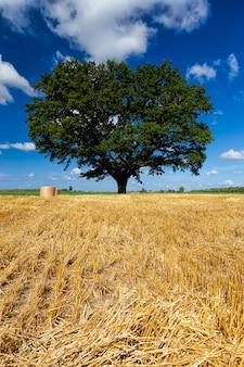 Поле пшеницы и дуб в сельскохозяйственном поле
