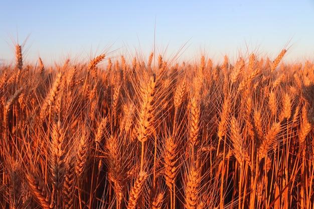 늦은 여름에 일몰의 밀밭 수확 선택적 초점