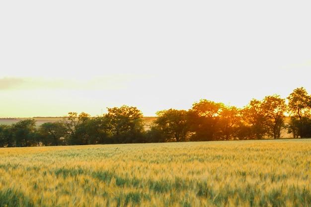 日没時の麦畑、テキスト用のスペース。農業