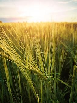 日没時の麦畑