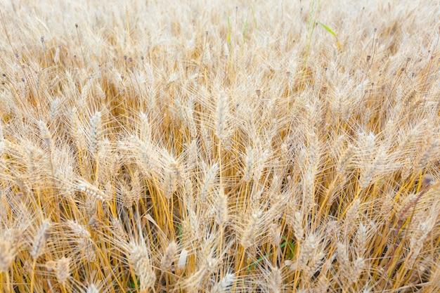 Wheat field background. agriculture, cultivated field. wheat cereal