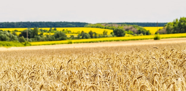 Wheat field on a background of a field with sunflowers.. ears of golden wheat close up.