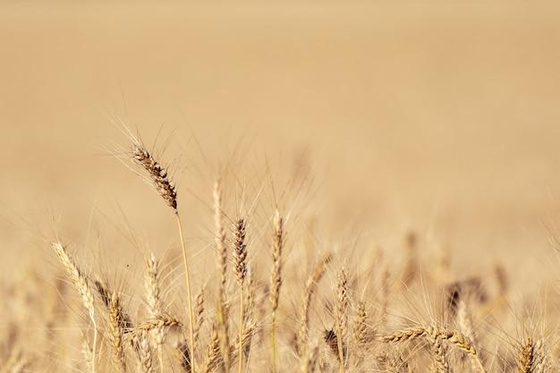 小麦畑。牧草地の麦畑の耳を登熟の背景。コピースペース付き