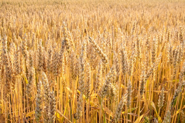 Wheat field. background of the ripening ears of the field of meadow wheat. wheat crop.