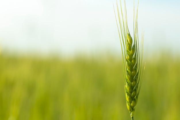 Предпосылка поля пшеницы. урожай пшеницы на солнечном поле летом. сельское хозяйство, выращивание ржи и выращивание концепции био-эко-продуктов питания. фото высокого качества