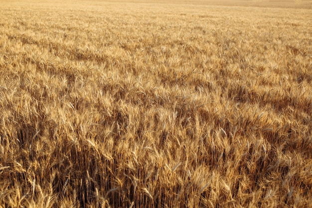 Wheat field before harvesting. golden spikelets on a sunny bright day.
