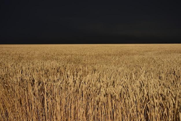 폭풍 전의 밀밭, 폭풍 전의