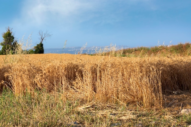 Wheat field and blue sky. golden rye in day time. landscape wheat seedlings growing in a field. gold wheat growing in soil. sprouting rye agriculture on a field. sprouts of rye. rich harvest concept