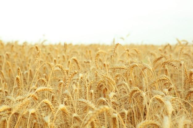 텍스트를 위한 장소가 있는 밀밭