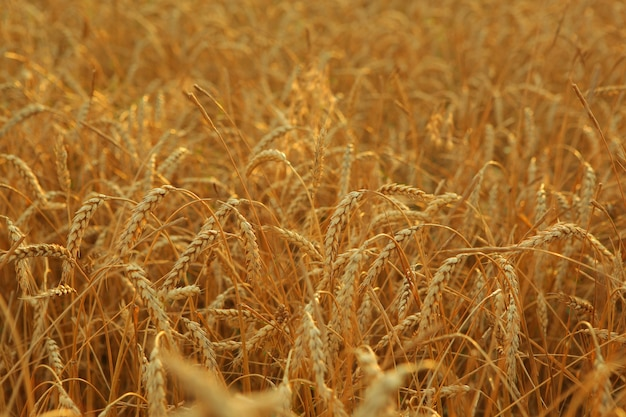 Wheat field close up with place for text